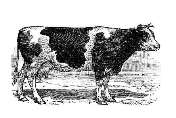 antique old french engraving illustration: cow - farm animals stock illustrations, clip art, cartoons, & icons