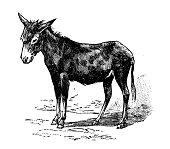 Antique old French engraving illustration: Donkey