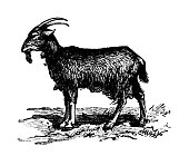 Antique old French engraving illustration: Goat