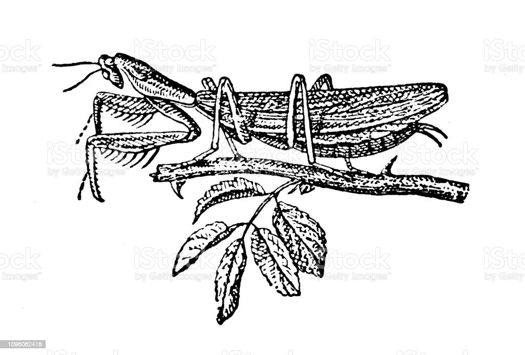 Antique Old French Engraving Illustration Insect Praying Mantis