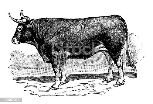 Antique old French engraving illustration: Ox
