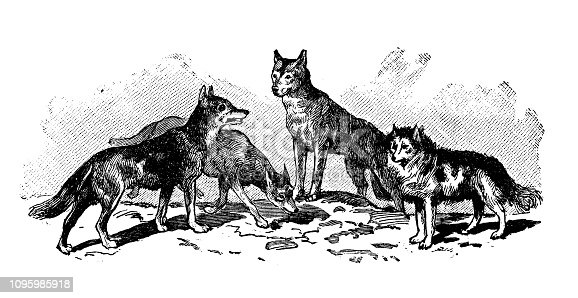 Antique old French engraving illustration: Wild dogs