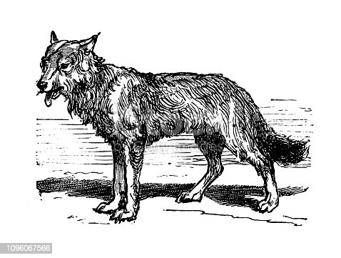 Antique old French engraving illustration: Wolf