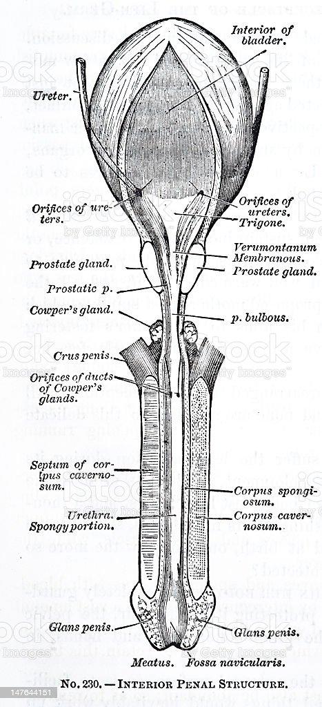 Antikes Penis Diagramm Stock Vektor Art und mehr Bilder von Anatomie ...