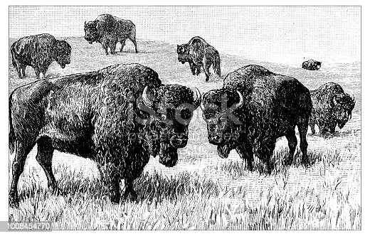Antique scientific engraving illustration: Bisons