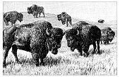Antique scientific engraving illustration: Bisons
