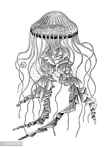 Antique sea animals engraving illustration: Chrysaora hysoscella, compass jellyfish
