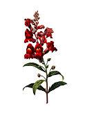 Antirrhinum   Redoute Flower Illustrations