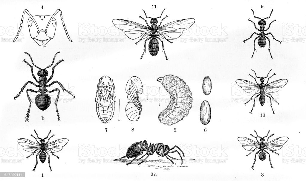 Ants engraving 1884 vector art illustration