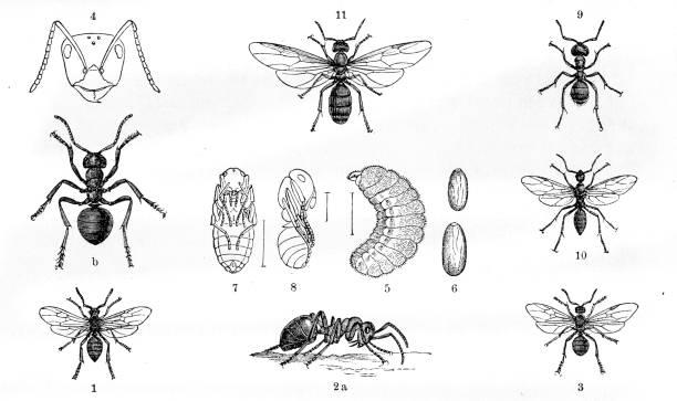 Ants engraving 1884 vector art illustration