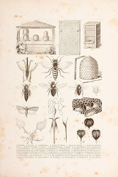 Apiculture bees engraving 1882 http://farm6.static.flickr.com/5061/5610114950_0474810373.jpg beekeeper stock illustrations