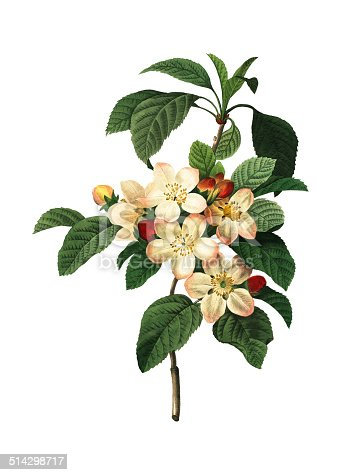 High resolution illustration of an apple blossom, isolated on white background. Engraving by Pierre-Joseph Redoute. Published in Choix Des Plus Belles Fleurs, Paris (1827).