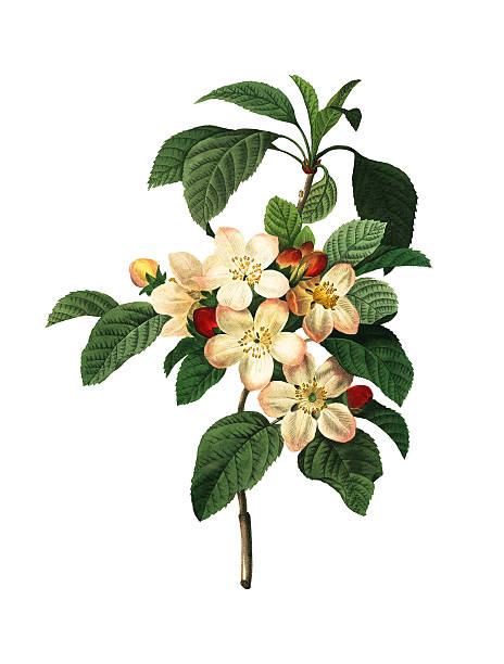 Apple Blossom | Redoute Botanical Illustrations High resolution illustration of an apple blossom, isolated on white background. Engraving by Pierre-Joseph Redoute. Published in Choix Des Plus Belles Fleurs, Paris (1827). apple blossom stock illustrations