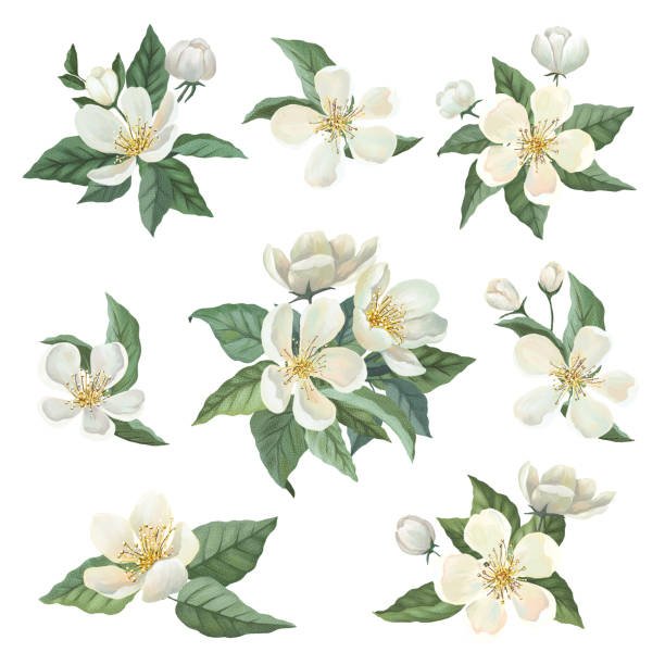 Apple blossom watercolor set Apple blossom watercolor set. Bouquets, flowers, leaves. Isolated on white background apple blossom stock illustrations