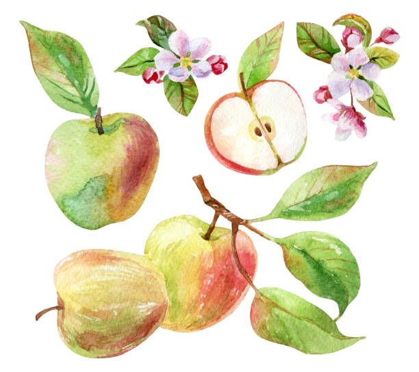 Apple branch with leaves and fruits in watercolor Apple branches with blossom, leaves and fruits set. Watercolor apple fruit and apple bloom isolated on white background. Summer harvest. Fruit on branch with leaves collection. Hand drawn illustration apple blossom stock illustrations