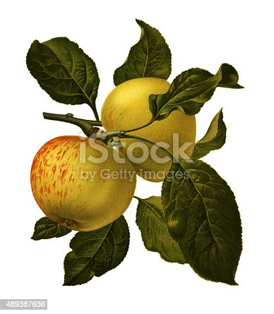 Antique illustration of a apple, isolated on white background.