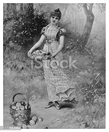 Apple Picking - Scanned 1894 Engraving