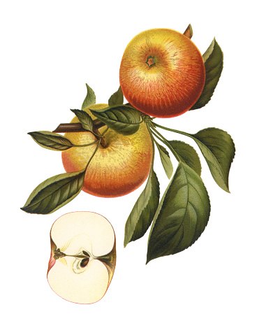 Antique illustration of a apples, isolated on white background.