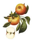 istock apples 490684706