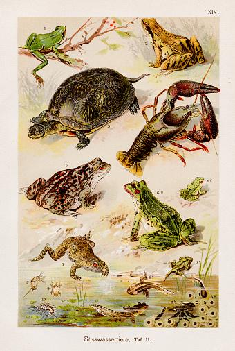 Aquatic Freshwater animals Chromolithography 1899