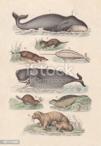 1) Bowhead Whale (Balaena mysticetus), 2) Fotter (Lutra), 3) Duck-billed platypus (Ornithorhynchus anatinus), 4) Narwhale (Monodon monoceros), 5) Cachalot (Physeter macrocephalus), 6) Eurasian Beaver (Castor fiber), 7) Common Seal (Phoca vitulina), 8) Walrus (Odobenus rosmarus). Hand-colored lithograph, published in 1880.