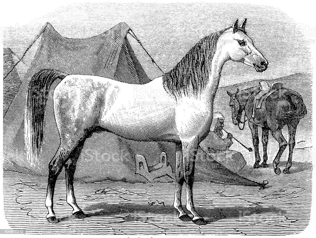 Arab horses vector art illustration