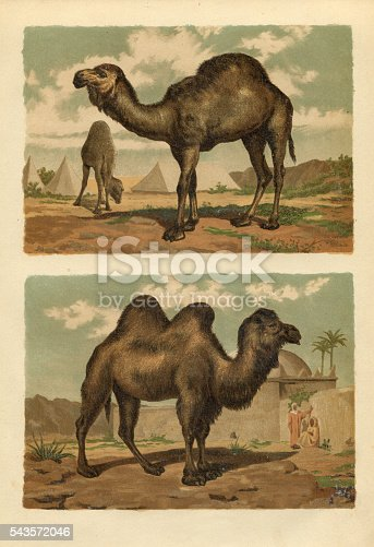 Steel engraving up : Arabian camel ( Camelus dromedarius )