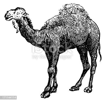 Vintage engraving of an Arabian camel (isolated on white). Published in Systematischer Bilder-Atlas zum Conversations-Lexikon, Ikonographische Encyklopaedie der Wissenschaften und Kuenste (Brockhaus, Leipzig) in 1844.CLICK ON THE LINKS BELOW FOR HUNDREDS MORE SIMILAR IMAGES: