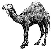 Arabian camel | Antique Animal Illustrations