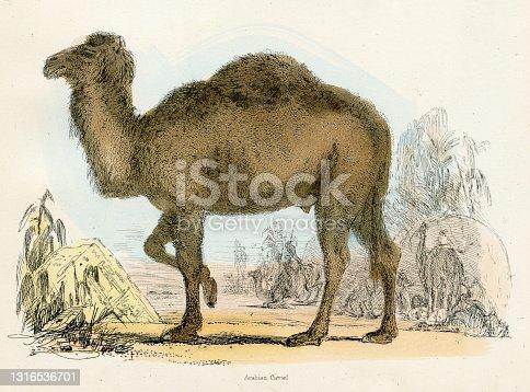 istock Arabian camel engraving 1893 1316536701