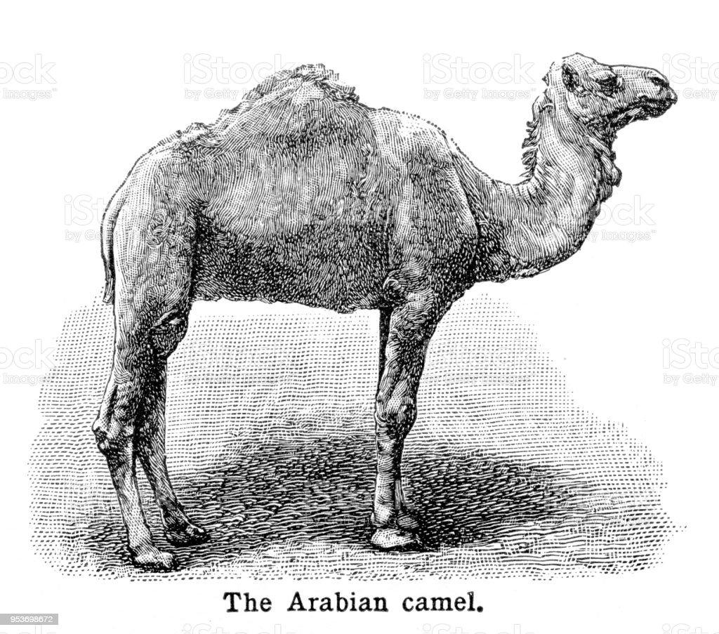 Arabian Camel Engraving 1897 Stock Illustration - Download Image Now