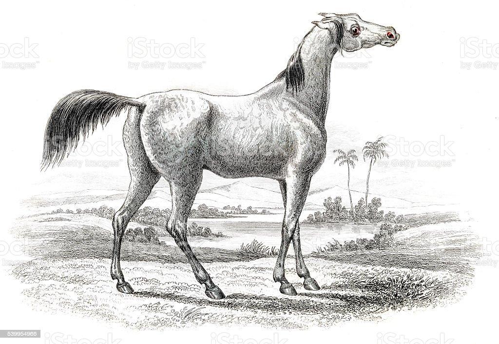 Arabian horse 1841 vector art illustration