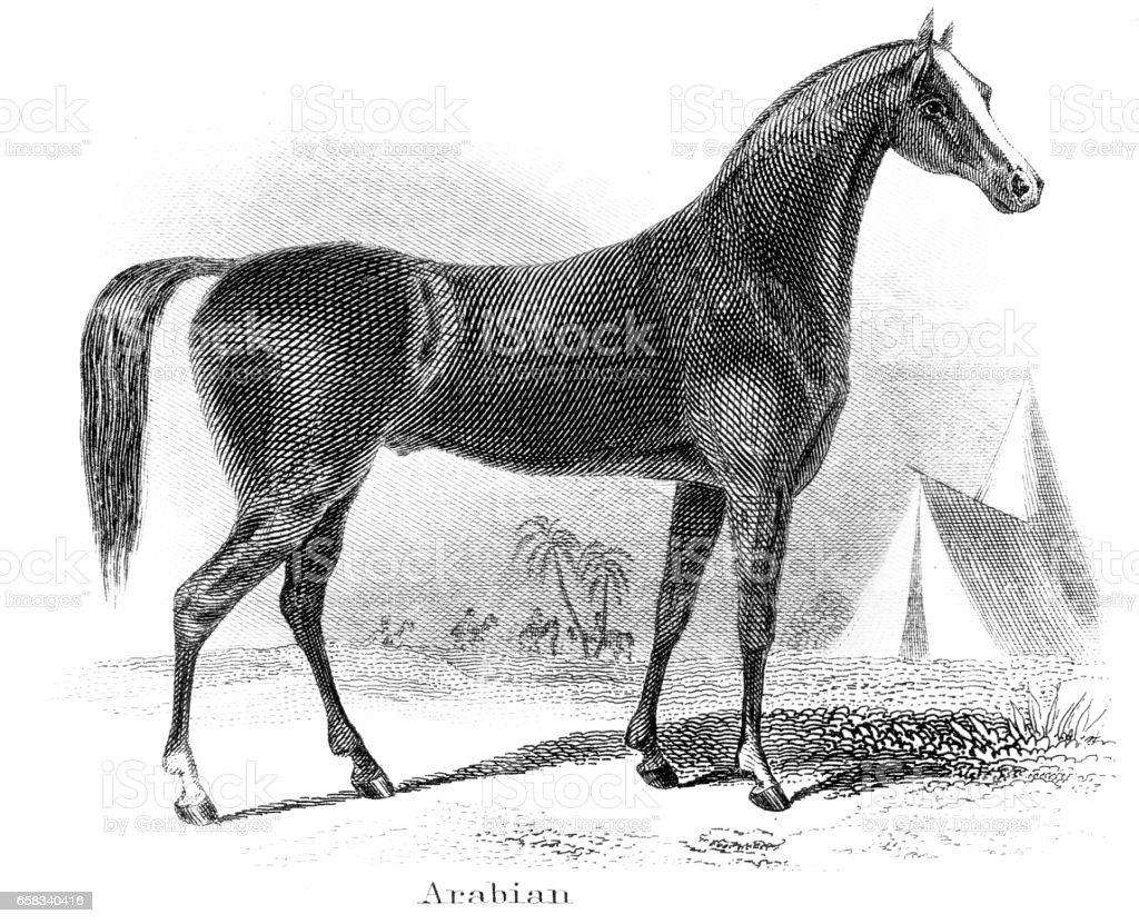Arabian horse engraving 1873 vector art illustration