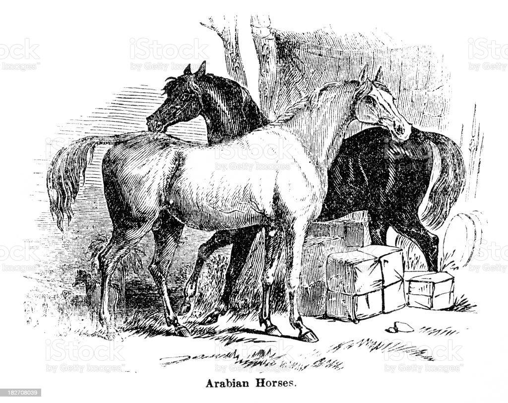 Arabian horses vector art illustration