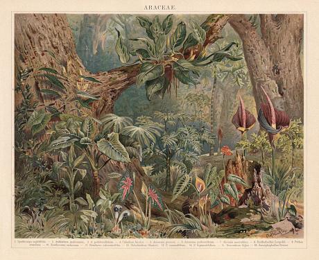 Araceae, monocotyledonous flowering plants in the tropics, lithograph, published 1897