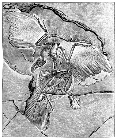 """Archaeopteryx (""""old wing""""), sometimes referred to by its German name, Urvogel (""""original bird"""" or """"first bird""""), is a genus of bird-like dinosaurs that is transitional between non-avian feathered dinosaurs and modern birds"""