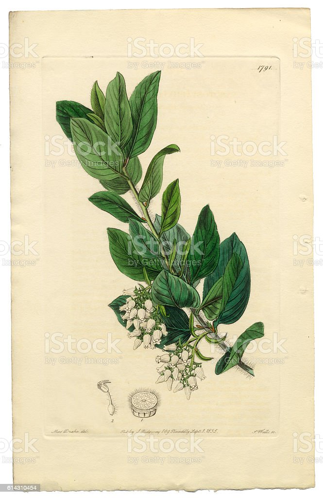 Arctostaphylos tomentosa Victorian Botanical Illustration, Downy Bearberry, Bearberry, 1835 vector art illustration