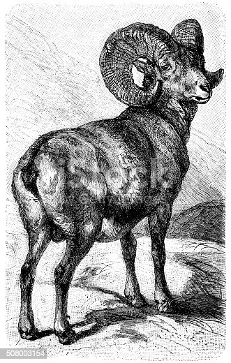 Antique illustration of argali sheep, mountain sheep (Ovis ammon)