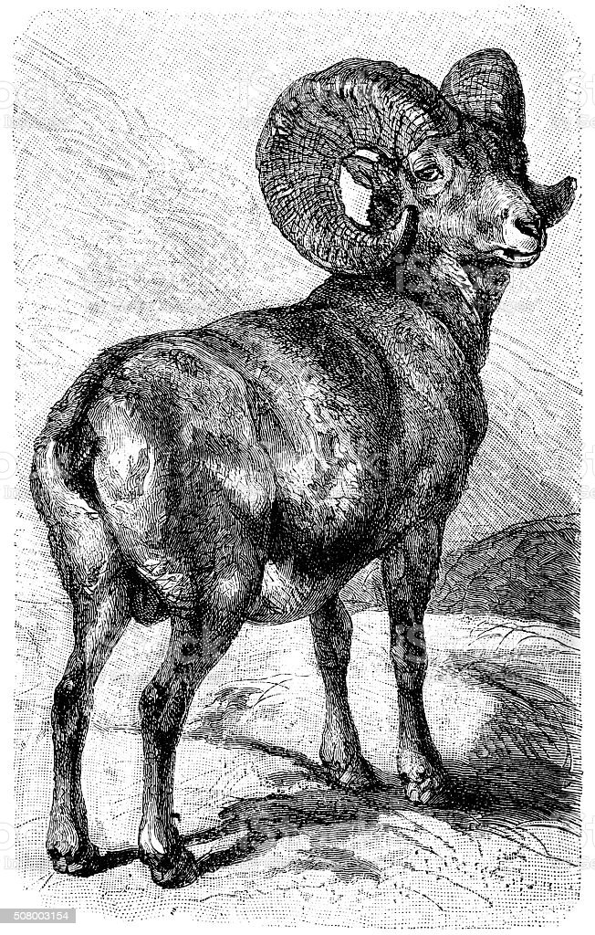 Argali sheep, mountain sheep (Ovis ammon) vector art illustration