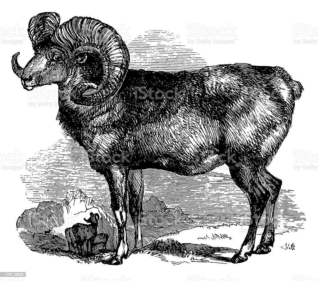Argali Wild Sheep | Antique Animal Illustrations vector art illustration
