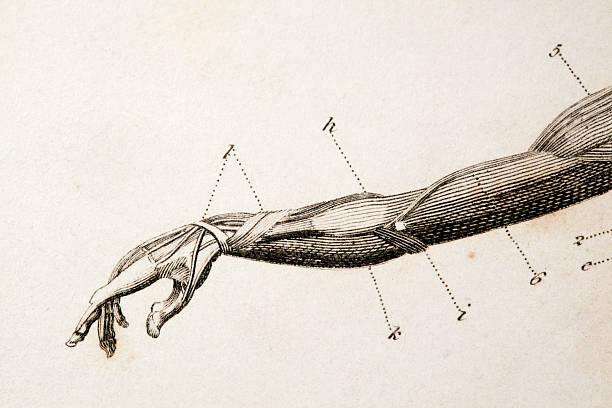 arm engraving macro of an antique anatomy engraving.original engraving by James Amdee in 1809, English Encyclopedia. biomedical illustration stock illustrations