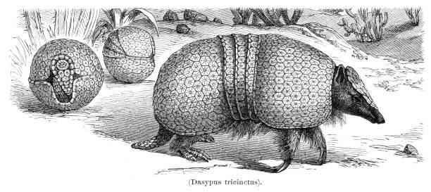 Armadillo animal illustration 1897 vector art illustration