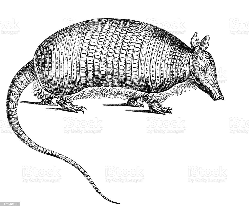 Armadillo royalty-free armadillo stock vector art & more images of animal