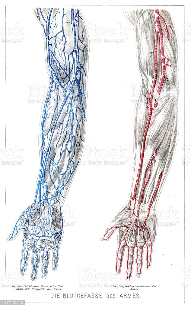 Arms Blood Vessels Anatomy Engraving 1857 Stock Vector Art & More ...