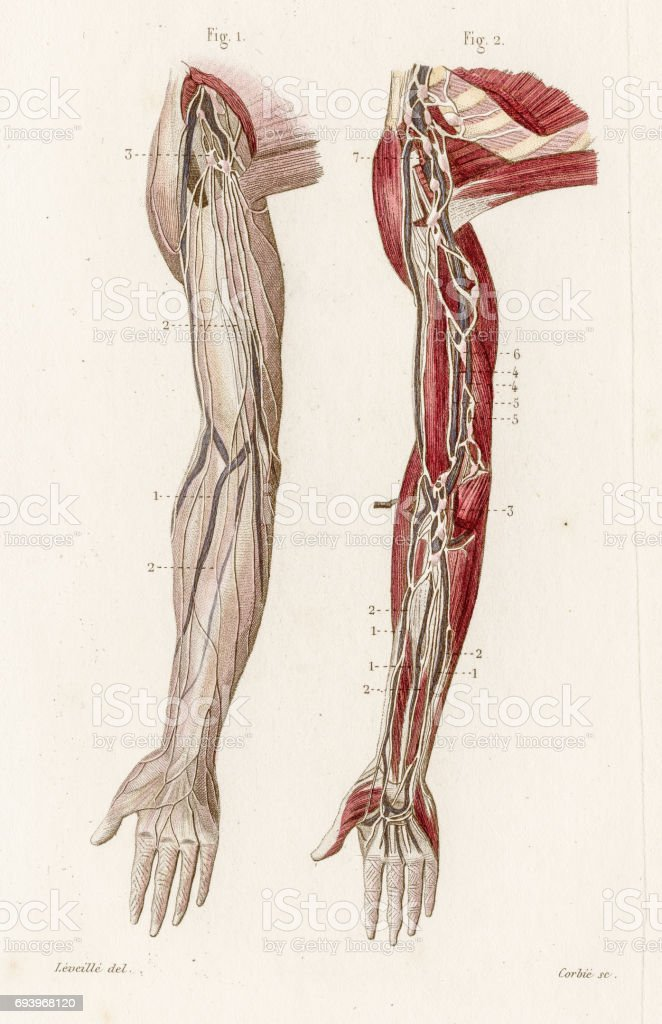 Arms Vascular System Anatomy Engraving 1886 Stock Vector Art & More ...