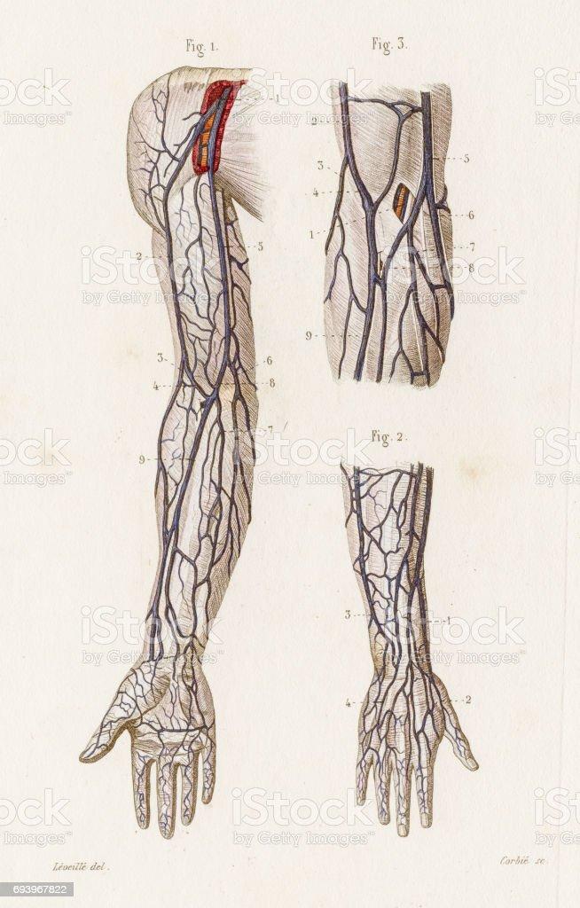 Ilustración de Anatomía De Las Venas De Los Brazos Grabado De 1886 y ...