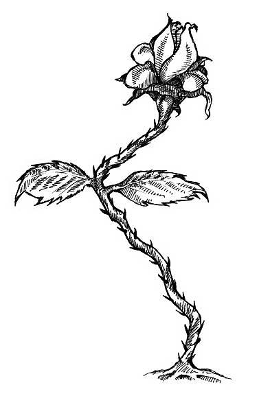 Art - Rose vector art illustration