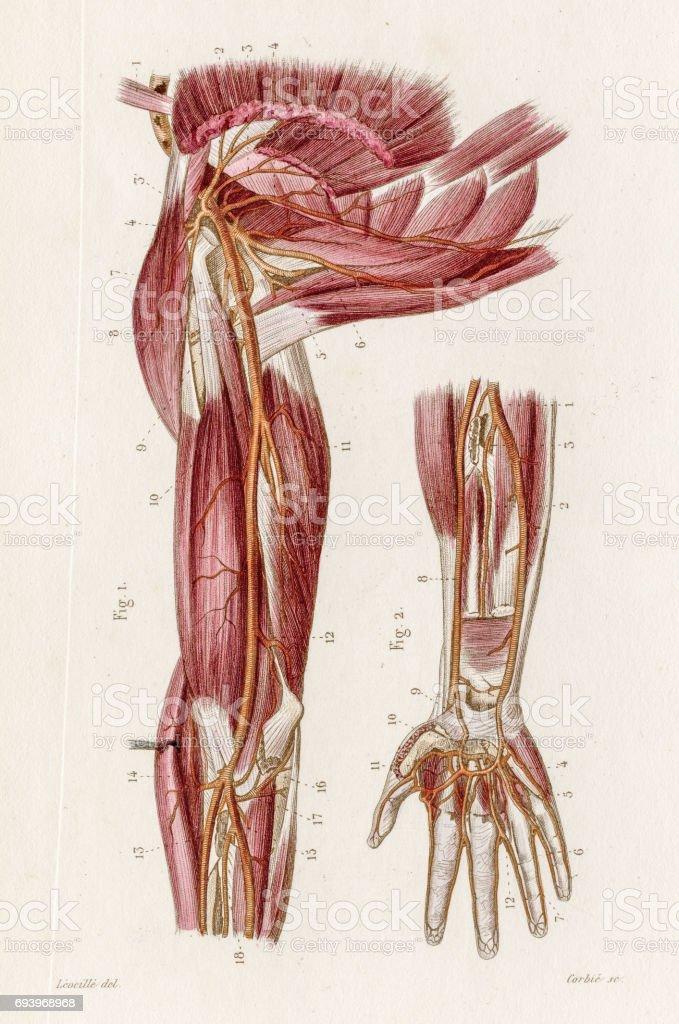 Ilustración de Arterias De La Anatomía De La Axila Grabado De 1886 y ...