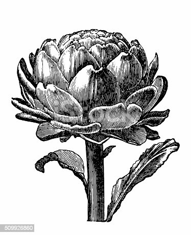 Antique engraving of an artichoke, isolated on white.