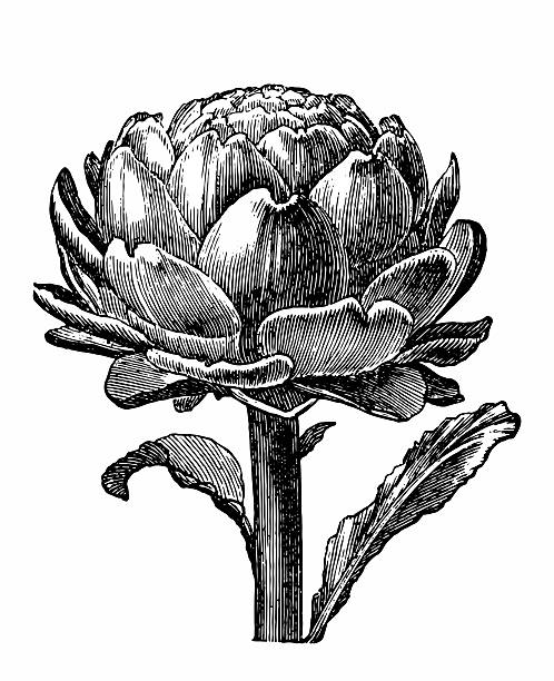 Artichoke Antique engraving of an artichoke, isolated on white.  artichoke stock illustrations